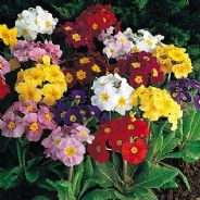 Polyanthus Crown Exhibition Mix - 150 seeds